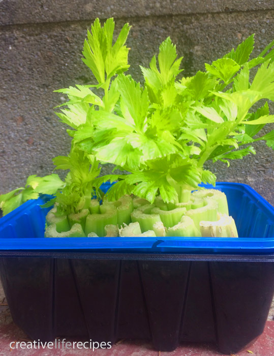 Regrow-Your Celery 1 Month Creative Life Recipes